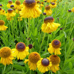 Helenium bigelovii 'The Bishop' - Zonnekruid - Helenium bigelovii 'The Bishop'