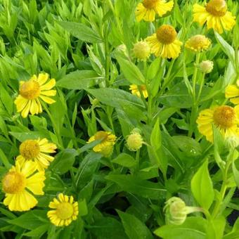 Helenium 'Gold Doubloons'