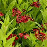 Helenium 'Potter's Wheel' - Zonnekruid - Helenium 'Potter's Wheel'