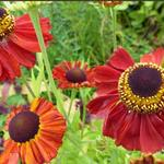 Helenium 'Red Army' - Zonnekruid