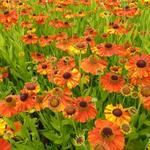 Zonnekruid - Helenium 'Sahin's Early Flowerer'