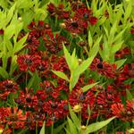 Helenium autumnale MARIACHI 'Siesta' - Zonnekruid - Helenium autumnale MARIACHI 'Siesta'
