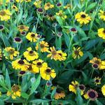 Helenium 'Wyndley' - Zonnekruid - Helenium 'Wyndley'