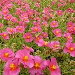 Helianthemum 'Ben Hope' - Zonneroosje