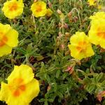 Helianthemum 'Golden Queen' - Zonneroosje