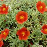 Helianthemum 'Henfield Brilliant' - Zonneroosje