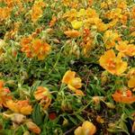 Zonneroosje - Helianthemum 'Orange Double'
