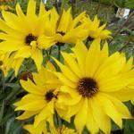 Helianthus atrorubens 'Monarch' - Zonnebloem - Helianthus atrorubens 'Monarch'