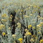 Helichrysum italicum - Kerrieplant - Helichrysum italicum