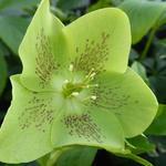 Helleborus orientalis 'Green Spotted' - Nieskruid - Helleborus orientalis 'Green Spotted'