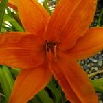 Daglelie - Hemerocallis 'Burning Daylight'