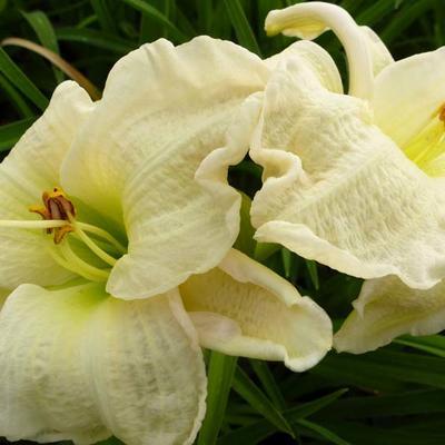 Hemerocallis 'Gentle Shepherd' - Daglelie - Hemerocallis 'Gentle Shepherd'
