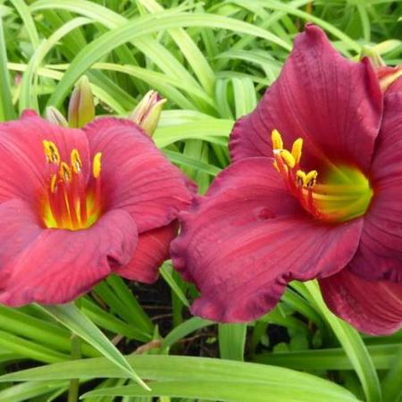 Hemerocallis 'Regency Dandy'