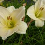 Daglelie - Hemerocallis 'Snowy Apparition'