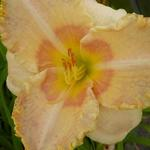 Hemerocallis 'Wisest of Wizards' - Daglelie