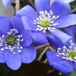 Hepatica nobilis - Leverbloempje - Hepatica nobilis