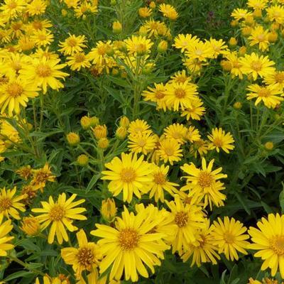 Heterotheca villosa 'Golden Sunshine' -
