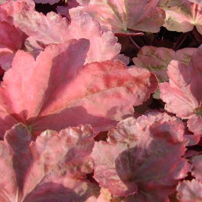 Heuchera 'Autumn Leaves' - Purperklokje - Heuchera 'Autumn Leaves'
