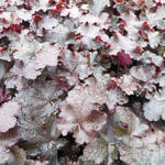 Heuchera 'Black Beauty' - Purperklokje
