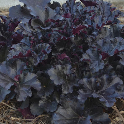 Heuchera 'Black Pearl' -