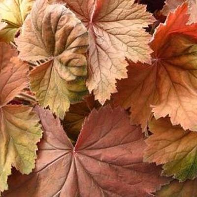 Heuchera 'Bronze Beauty' -