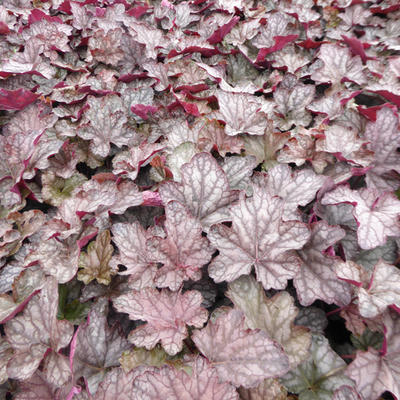 Heuchera 'Cascade Dawn'  - Purperklokje - Heuchera 'Cascade Dawn'