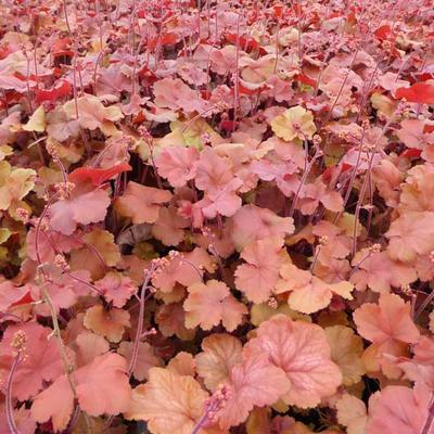 Heuchera 'Cherry Cola' -
