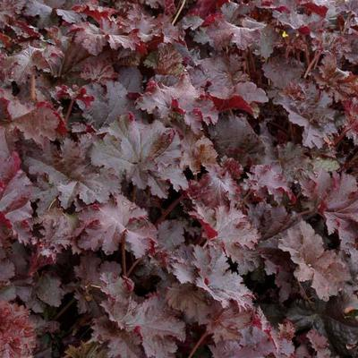 Heuchera 'Chocolate 'Ruffles - Purperklokje - Heuchera 'Chocolate 'Ruffles