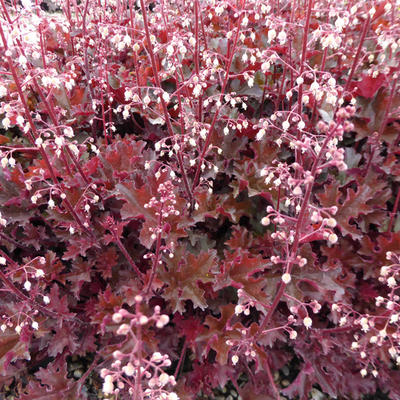 Heuchera 'Crimson Curls' -