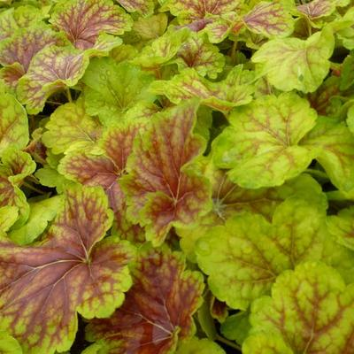 Heuchera 'Delta Dawn' -