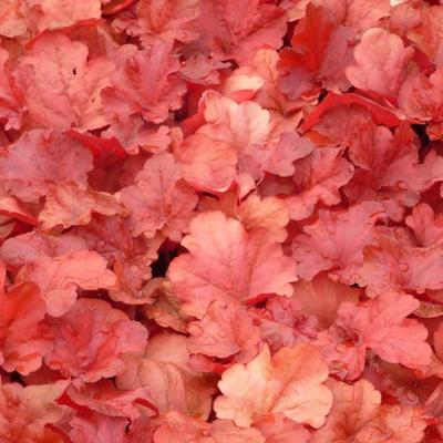 Heuchera 'Fire Alarm' - Purperklokje - Heuchera 'Fire Alarm'