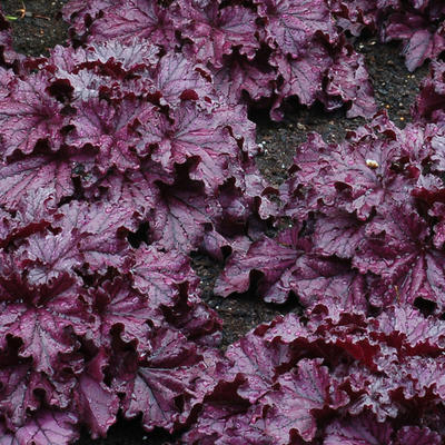 Heuchera 'FOREVER Purple' - Purperklokje - Heuchera 'FOREVER Purple'