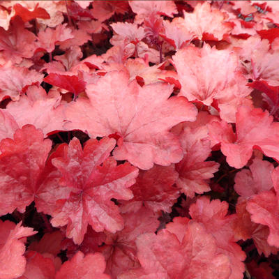 Heuchera 'Galaxy' -