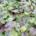 Heuchera 'MASTER PAINTERS Gauguin' - Purperklokje