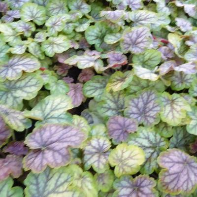 Heuchera 'MASTER PAINTERS Gauguin' -