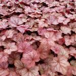 Heuchera 'Georgia Peach' - Purperklokje