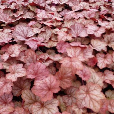 Heuchera 'Georgia Peach' - Purperklokje - Heuchera 'Georgia Peach'