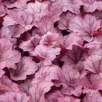 Heuchera 'Georgia Plum' - Purperklokje
