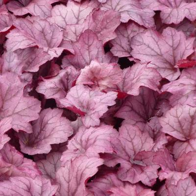 Heuchera 'Georgia Plum' -