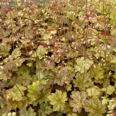Heuchera 'Ginger Ale' -