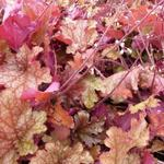 Heuchera 'Ginger Peach' - Purperklokje