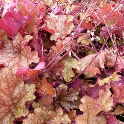 Heuchera 'Ginger Peach' -