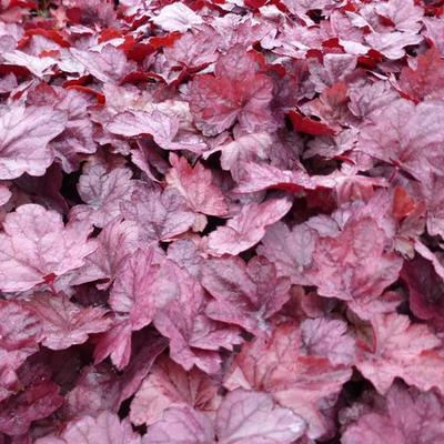 Heuchera 'Grape Soda' -