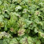 Heuchera 'Green Spice' - Purperklokje