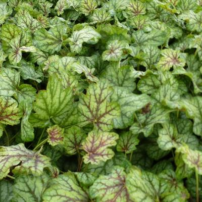 Heuchera 'Green Spice' -