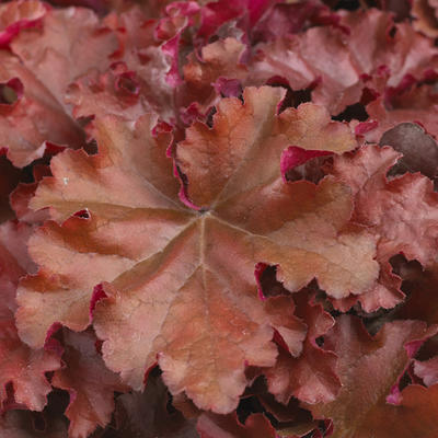 Heuchera INDIAN SUMMER 'Boysenberry' -