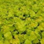 Purperklokje - Heuchera 'Lime Marmalade'