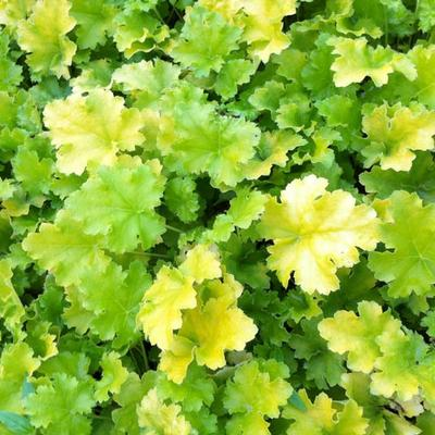 Heuchera 'Lime Rickey' - Purperklokje - Heuchera 'Lime Rickey'