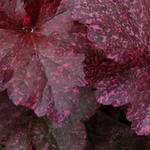 Heuchera 'Midnight Rose' - Purperklokje
