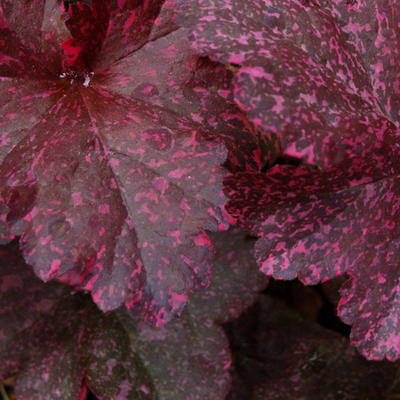 Heuchera 'Midnight Rose' - Purperklokje - Heuchera 'Midnight Rose'